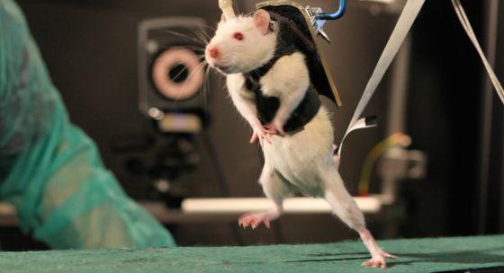 Ratos andam paraplégicas