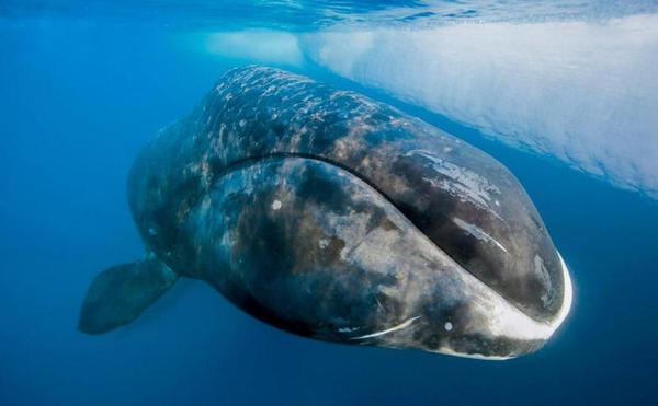 As baleias boreais são os músicos de jazz do oceano