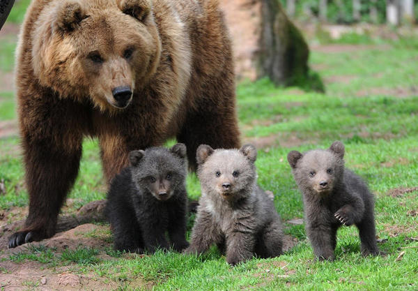 As crias de urso pardo estão levando mais um ano em separarse de suas mães