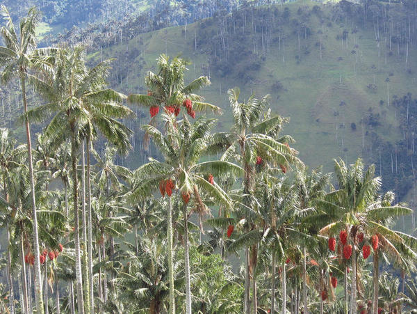 Descobrem que as palmeiras colombianas estão mudando de sexo