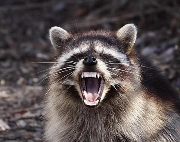 Dizem que os guaxinins de Ohio, se comportam como zumbis agressivos