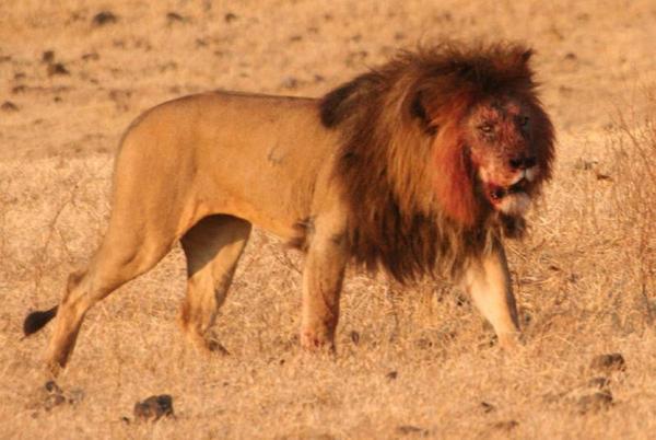 Eles descobriram que, em África restos de leões gigantes