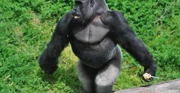 Este gorila anda quase como os humanos