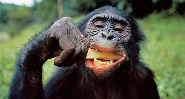 Os chimpanzés gostam de comer cérebros