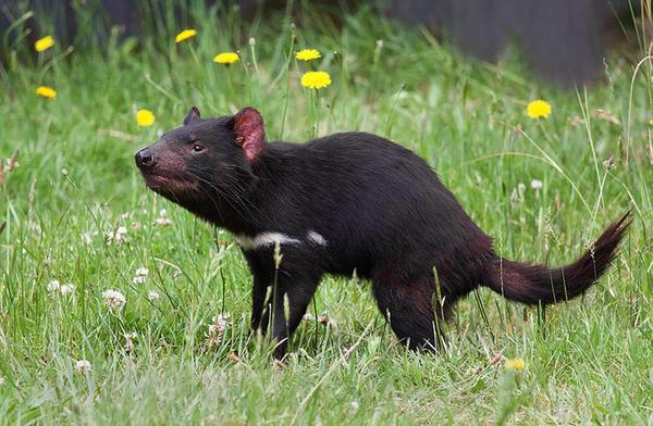 Os medicamentos para humanos podem salvar diabo da Tasmânia da extinção