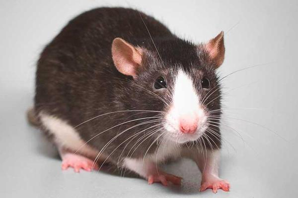 Os ratos não vomitan e isso pode ser bom para a luta contra o câncer