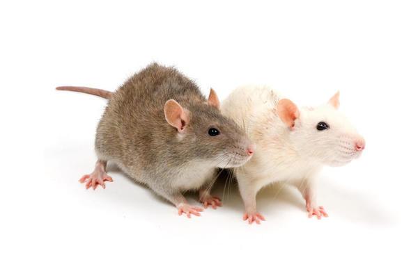 Os ratos podem detectar a tuberculose em crianças