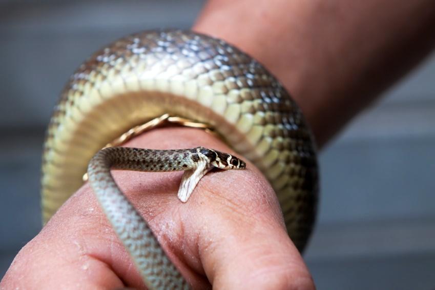 mordida de cobra